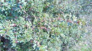 lentisco e altri arbusti profumati