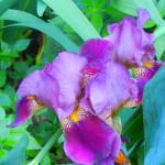 giaggiolo o iris