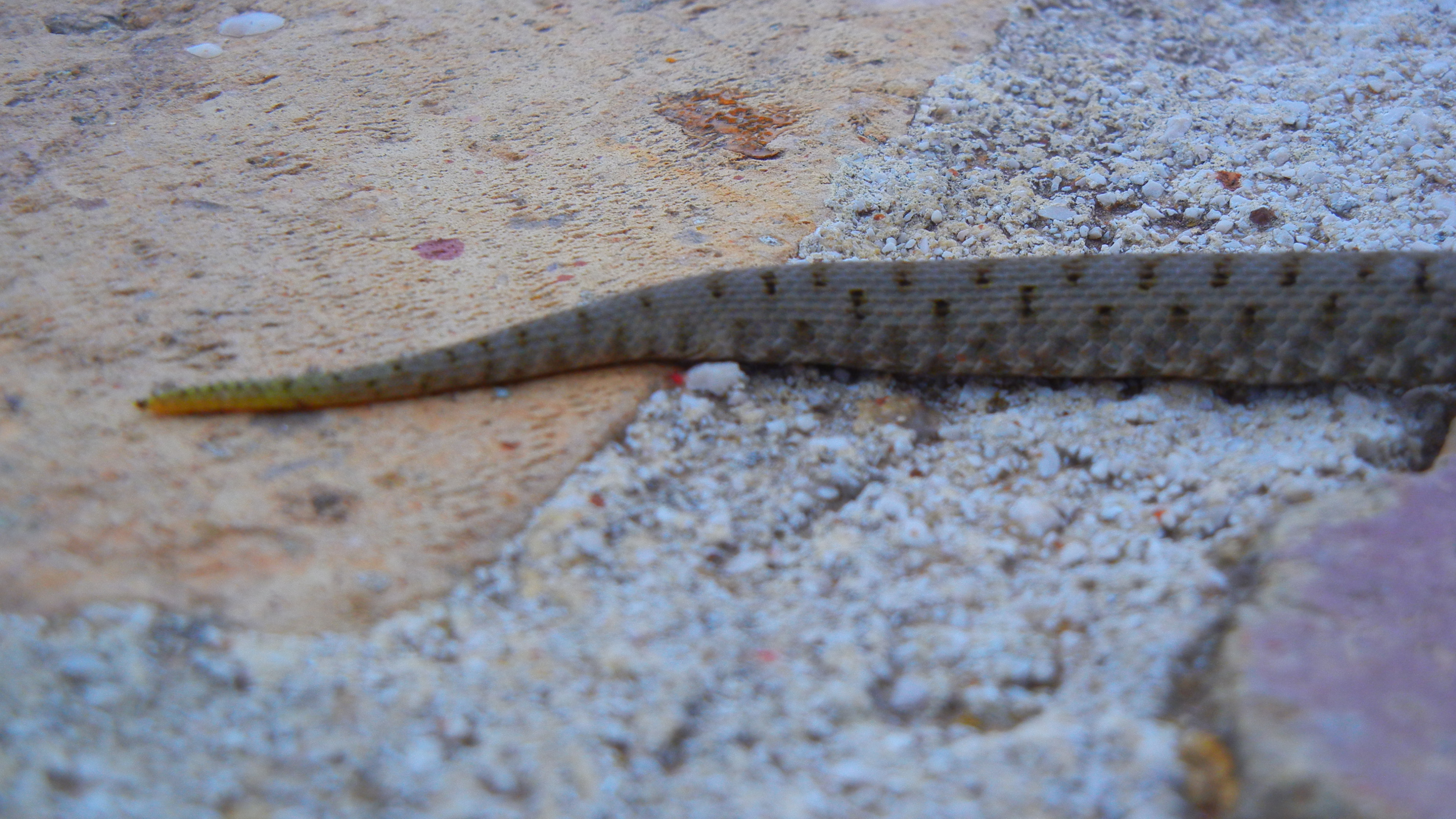 Marasso palustre cleopatra aspide biacco frustone for Serpente frustone